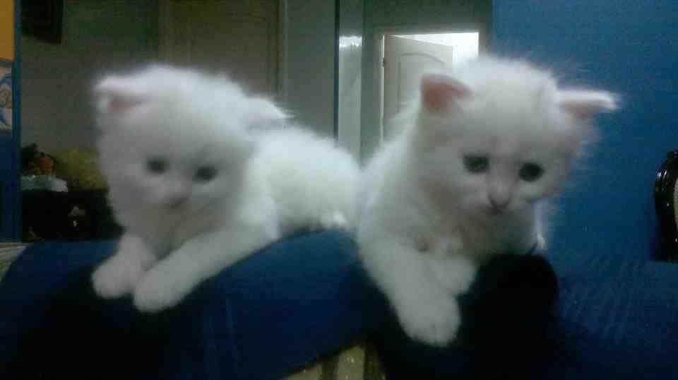 صور قطط شيرازي جميع الانواع والالوان ، شيرازي ابيض ، شيرازي هاف بيكي , شيرازي بيور